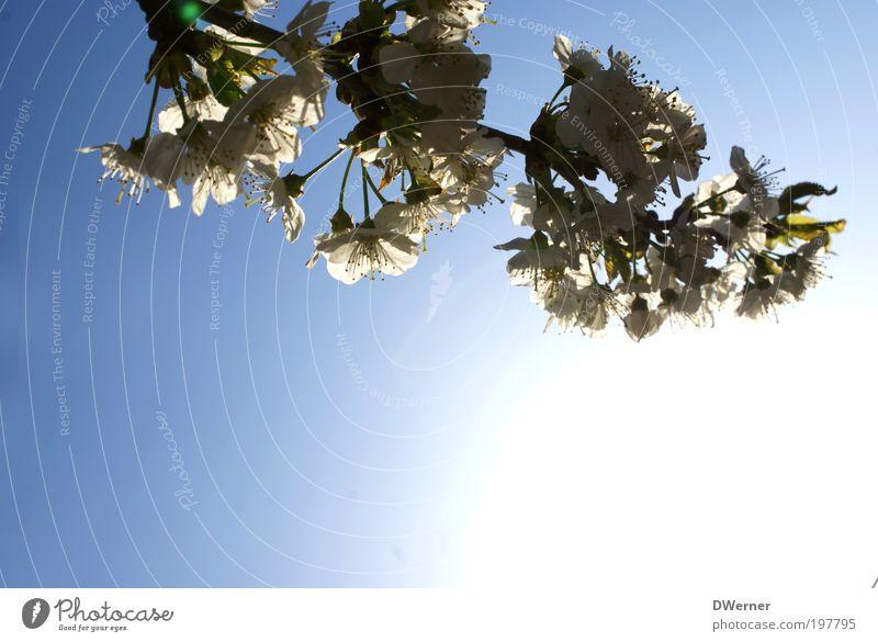 Den Frühling fotografieren Lifestyle Stil schön Umwelt Pflanze Luft Himmel Wolkenloser Himmel Sonne Sonnenlicht Klima Schönes Wetter Baum Blüte Wildpflanze Park
