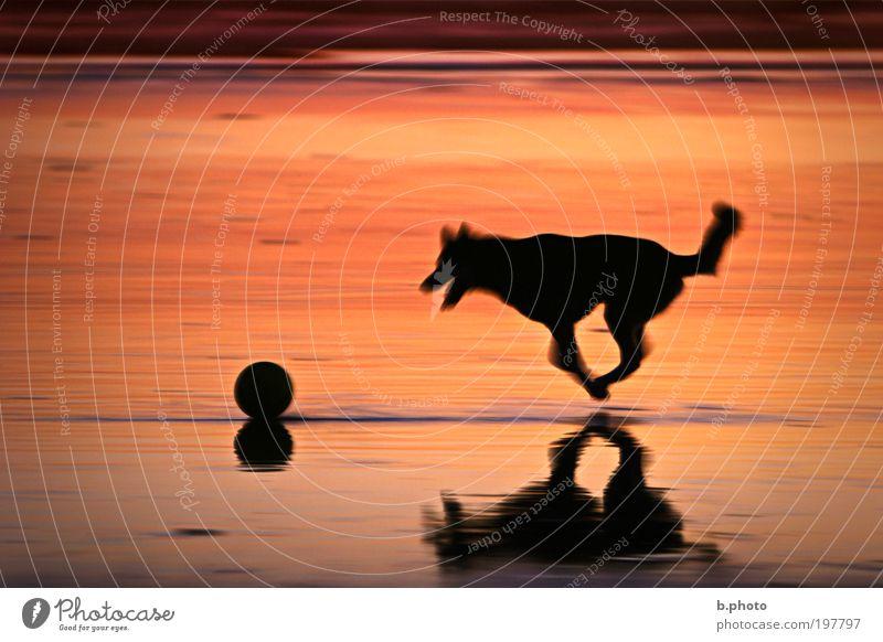 chasing the ball Natur Tier Sonnenaufgang Sonnenuntergang Sommer Schönes Wetter Wärme Küste Strand Meer Pazifik Hund 1 Ball Fitness fliegen genießen rennen