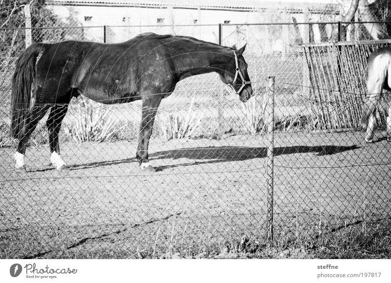 Fury Tier Pferd 1 schön Schatten Fellfarbe Weide Schwarzweißfoto Außenaufnahme Tag Licht Kontrast Tierporträt
