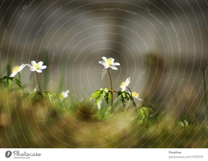 Grazien Natur schön weiß Blume grün Pflanze Blatt Wiese Blüte Gras Frühling Park Wärme Landschaft Luft hell