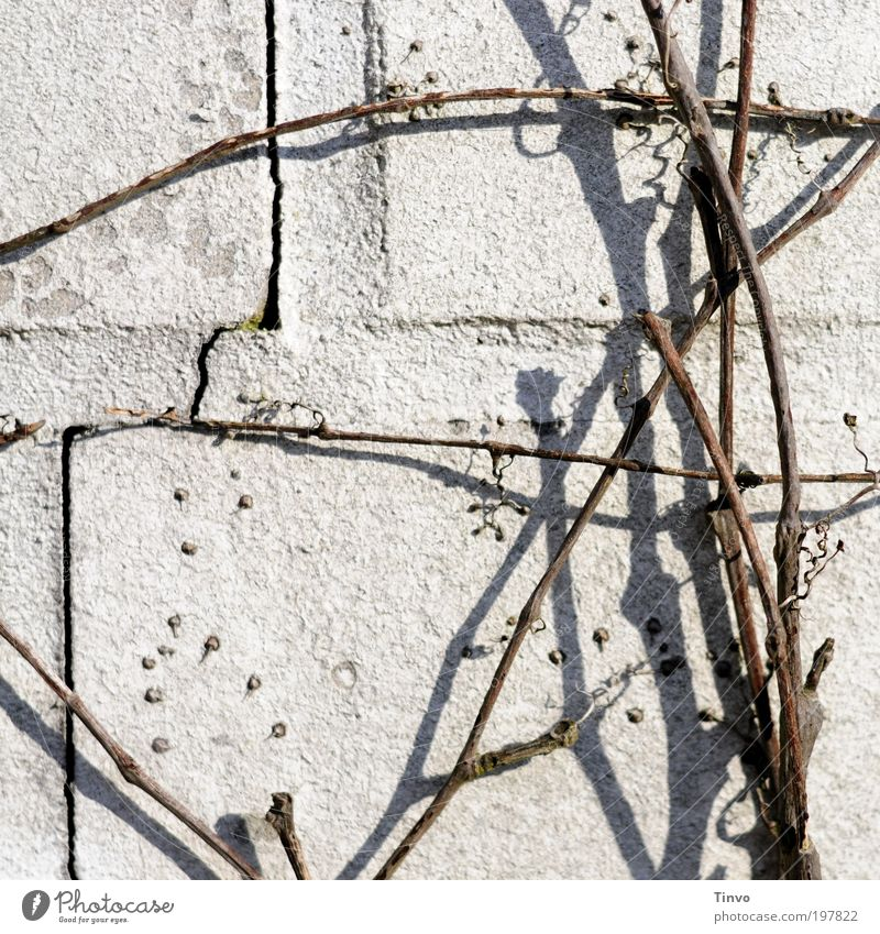 free climbing Natur Herbst Winter Schönes Wetter Pflanze Wildpflanze Mauer Wand dünn hell chaotisch durcheinander Fuge Riss Fassade Haftwurzeln Kletterpflanzen