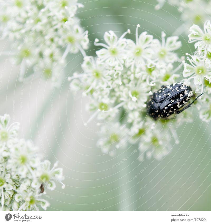 zartes Versteck Umwelt Natur Landschaft Pflanze Tier Frühling Sommer Blume Blüte Wildpflanze Doldenblütler Doldenblüte Park Wiese Feld Wildtier Käfer Insekt 1
