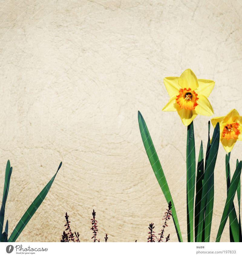 Narzisstin Freude Glück Natur Pflanze Frühling Schönes Wetter Blume Blüte Mauer Wand gelb Frühlingsgefühle Narzissen Frühlingsblume einzeln März April