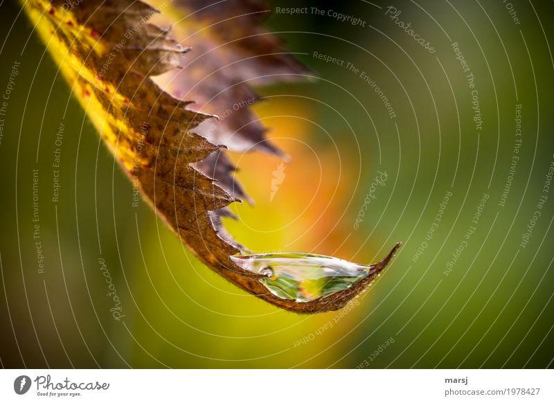 Tröpfchenhalter Leben harmonisch Wohlgefühl Erholung ruhig Natur Wasser Wassertropfen Herbst Blatt Brombeerblätter Blattspitze Bogen leuchten Sauberkeit frisch