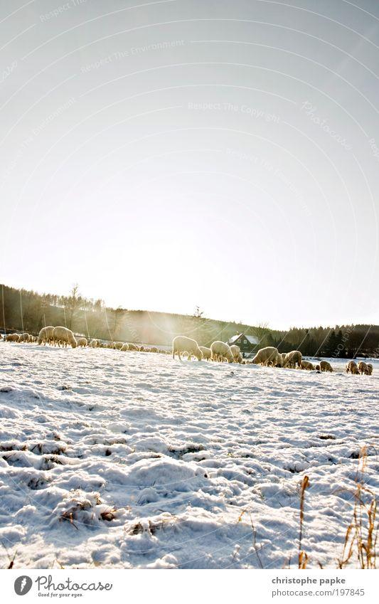 Bei Kälte trägt man Pelz Wolkenloser Himmel Winter Eis Frost Schnee Feld Alpen Dorf Menschenleer Nutztier Schaf Herde Fressen frieren kalt Wolle Schafherde