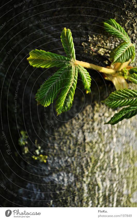 Kindheitserinnerung Umwelt Natur Pflanze Frühling Baum Blatt Grünpflanze Wachstum neu braun grün Glück Frühlingsgefühle Vorfreude Optimismus Kraft Kastanienbaum