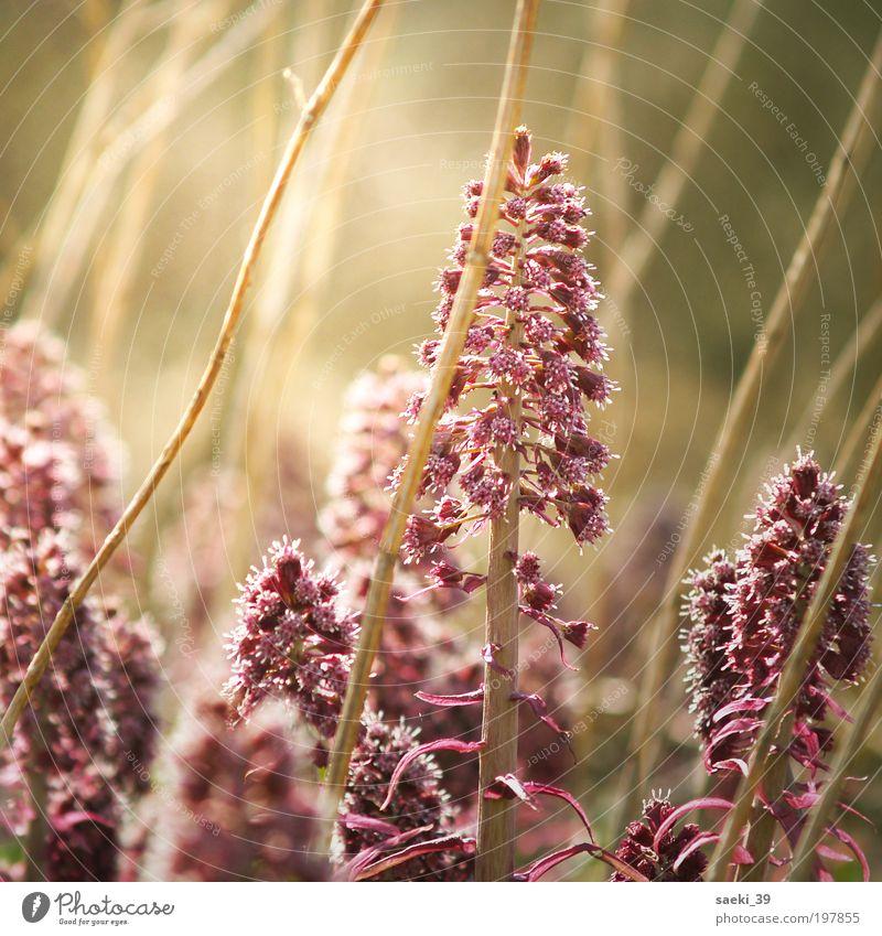 Who are you? Pflanze Sonnenlicht Frühling Schönes Wetter Blüte Wildpflanze Wiese Feld Moor Sumpf Teich Blühend Duft authentisch frisch rosa Stimmung