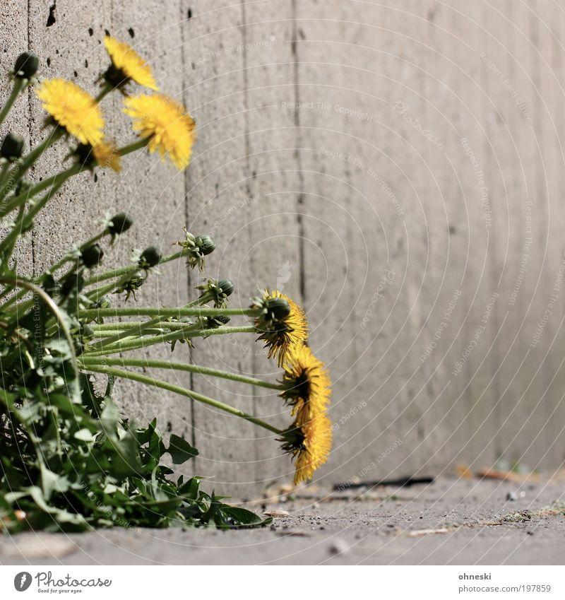 Löwenzahn Umwelt Natur Pflanze Frühling Blume Blüte Wildpflanze Mauer Wand Stein Beton grün Farbfoto Außenaufnahme Nahaufnahme Textfreiraum rechts Kontrast