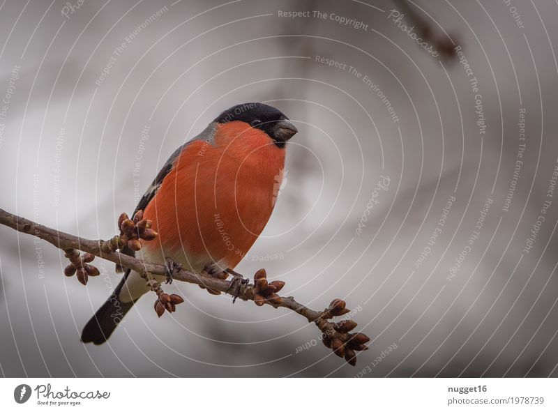 Gimpel / Dompfaff Umwelt Natur Tier Himmel Frühling Sommer Herbst Baum Garten Park Wald Wildtier Vogel Tiergesicht Flügel 1 beobachten sitzen ästhetisch