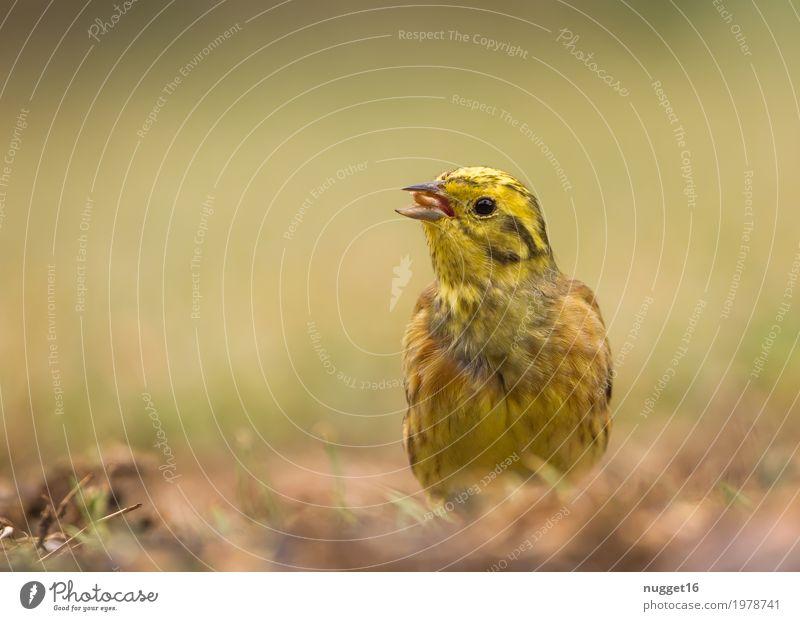 Goldammer Natur Sommer schön grün Tier schwarz Umwelt gelb Herbst Frühling Wiese Gras Garten braun Vogel orange