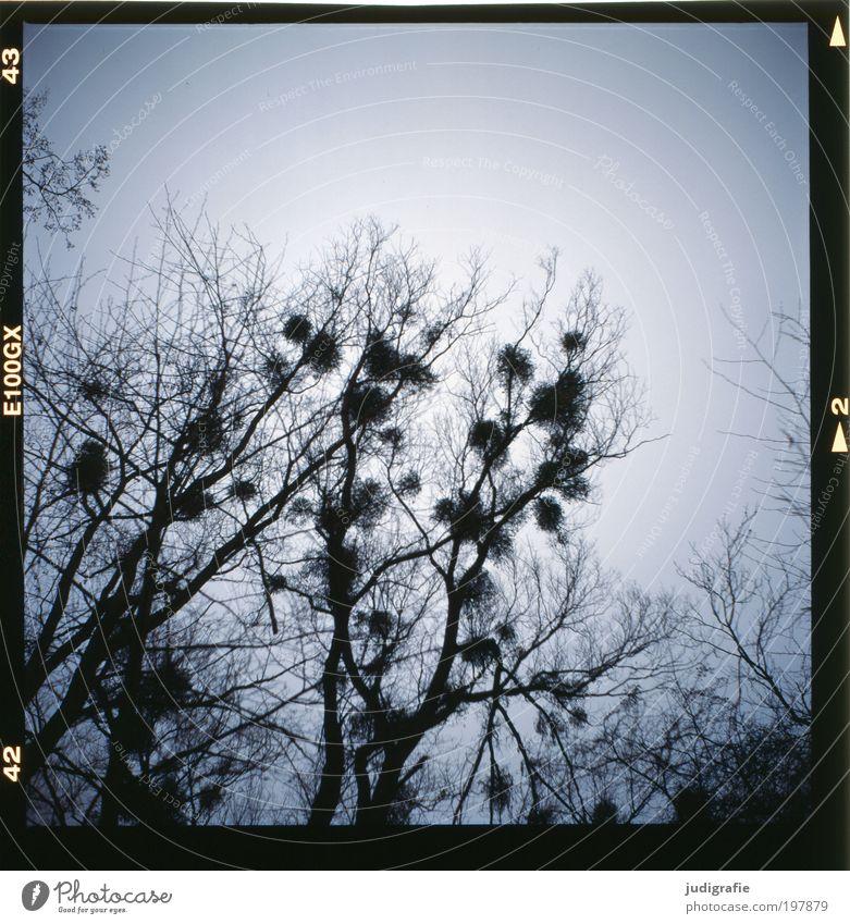 Mistel Umwelt Natur Pflanze Himmel Winter Baum Wildpflanze Park Wald bedrohlich dunkel natürlich stachelig trocken wild Schmarotzer kahl Zweige u. Äste
