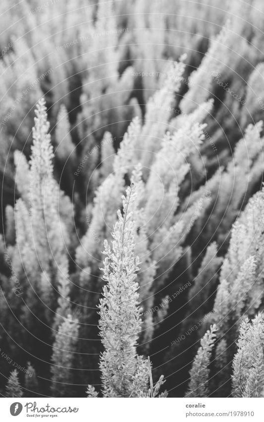 Heidepopeide Natur Pflanze schön Wiese Garten Zusammensein Park Feld Wachstum Sträucher Blühend weich Trauer viele zart Halm