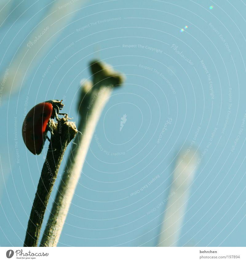 ziel erreicht Himmel blau rot Sommer ruhig Tier Frühling Zufriedenheit Kraft Hoffnung Flügel beobachten Mut Halm Schönes Wetter Marienkäfer