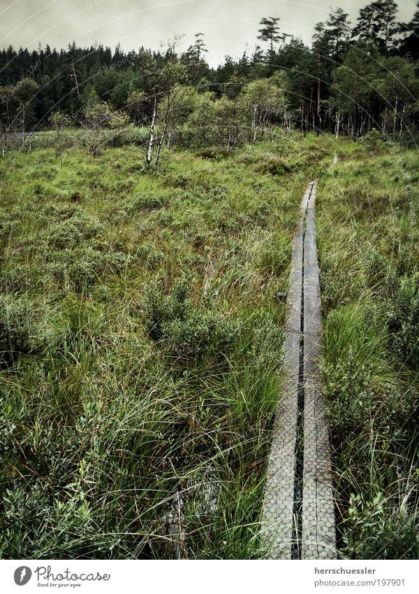 Auf dem Holzweg Ausflug Expedition Natur Landschaft Pflanze Gras Sträucher Moorbirke Wald Sumpf Schweden Wege & Pfade dunkel grün Einsamkeit bedrohlich