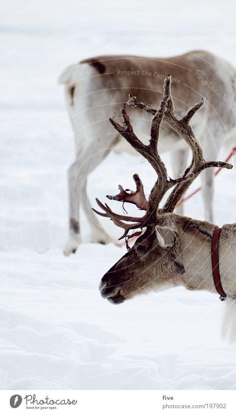 ganzkörperportrait Ferien & Urlaub & Reisen Tourismus Ausflug Abenteuer Ferne Freiheit Winter Schnee Winterurlaub Natur Eis Frost Wiese Feld Tier Wildtier Fell