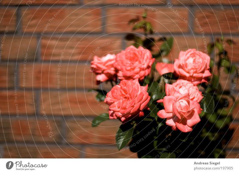 Blümsche Umwelt Natur Pflanze Blume Rose Blatt Blüte Garten Mauer Wand Stein Linie frisch schön rosa rot Farbfoto Außenaufnahme Detailaufnahme Menschenleer