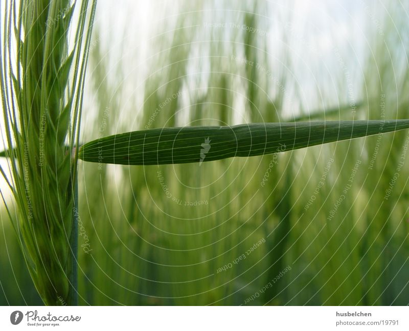 durchgang verboten Feld Landwirtschaft Korn Ähren Gerste