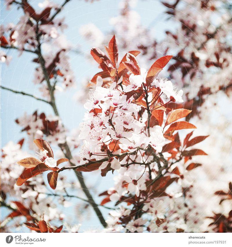 i met spring schön Baum Sonne Pflanze ruhig Gefühle Frühling Glück Stimmung frisch ästhetisch Romantik Klima Duft Kirschblüten Frühlingsgefühle