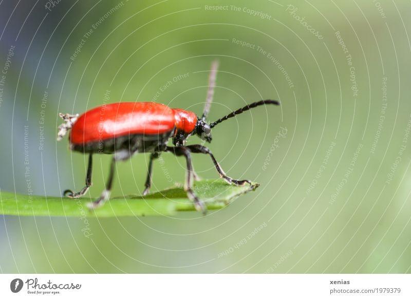 Guter Ausblick Sommer grün rot Blatt Tier schwarz Garten Park glänzend Käfer Lilienhähnchen
