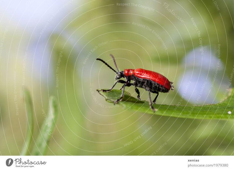 Am Aussichtspunkt hockt der rote Käfer Insekt Lilienhähnchen Sommer Blatt Garten Park Wiese Tier oben blau grün schwarz Antennen beetle Nahaufnahme