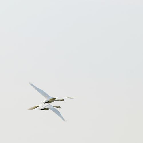 600 - Weg Umwelt Natur Tier Luft Himmel Wildtier Vogel Schwan 2 Tierpaar Bewegung fliegen frei Zusammensein hell natürlich Liebe Sehnsucht Heimweh Fernweh