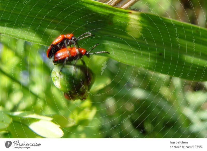 käfersex rot Blatt Garten Insekt Käfer