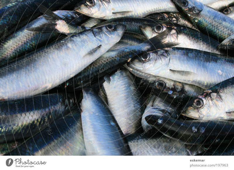 Heringe blau Ernährung grau Fisch mehrere authentisch viele gefangen Meer Haufen Atlantik Schwarm Kieme Hering