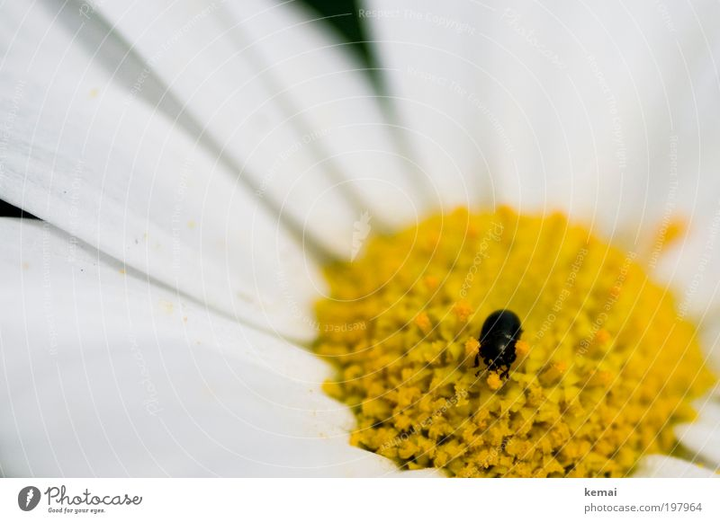Kleiner Pollensammler Umwelt Natur Pflanze Tier Frühling Sommer Schönes Wetter Wärme Blume Blüte Topfpflanze Margerite Nutztier Wildtier Käfer Fühler Beine
