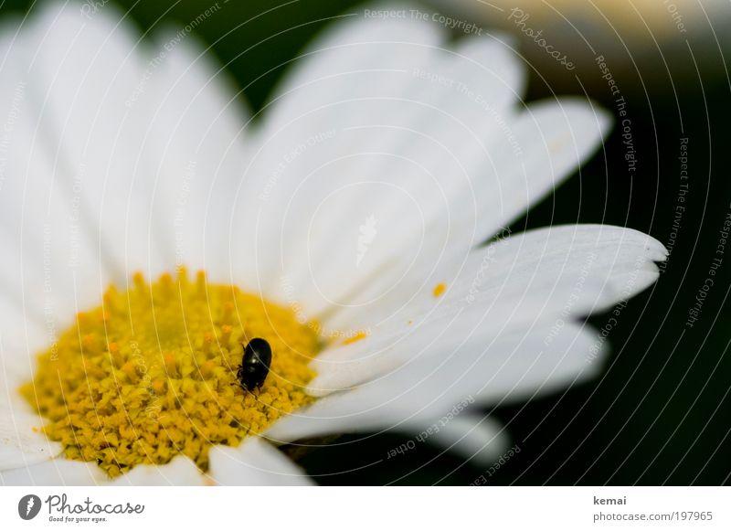 Ein guter Bug, wenn auch nicht tot Natur weiß Blume Pflanze Sommer schwarz Ernährung Tier gelb Blüte Frühling Wärme Umwelt sitzen Insekt entdecken