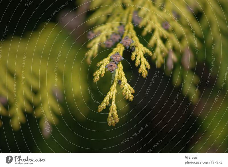Goldener Lebensbaum Natur Baum Pflanze Landschaft Frühling natürlich bizarr Schönes Wetter Frühlingsgefühle Landschaftsformen Immergrüne Pflanzen