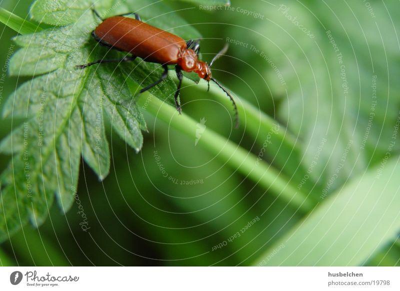 roter käfer Insekt Feld Blatt grün Wegrand Käfer