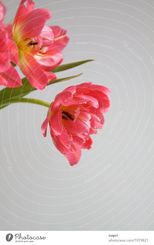 schlichte Eleganz Frühling Blume Tulpe elegant frisch rosa Farbe Stillleben Blüte Blühend geschmackvoll Detailaufnahme Frühlingsgefühle Frühlingsblume