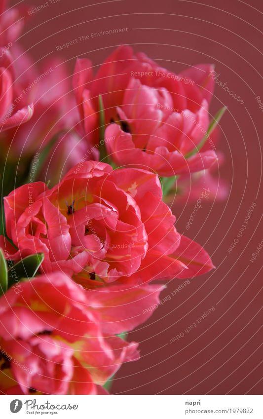 Im Tulpenrausch Frühling Blume elegant schön rosa rot Farbe Frühlingsgefühle Frühlingsblume Detailaufnahme leuchtende Farben Blühend Blüte üppig (Wuchs)