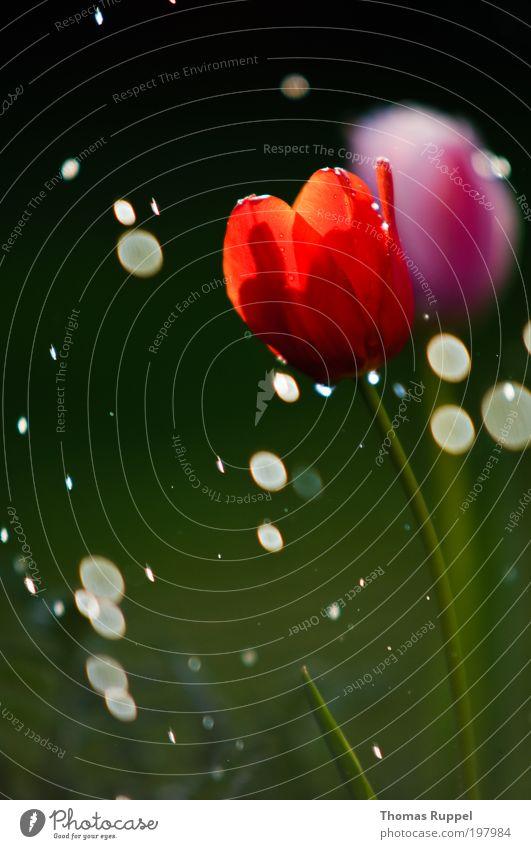 Tulpe und Kreise Natur Pflanze Wasser Wassertropfen Frühling Wetter Schönes Wetter Regen Wärme Blume Blüte Grünpflanze Beet nass schön grün rosa rot