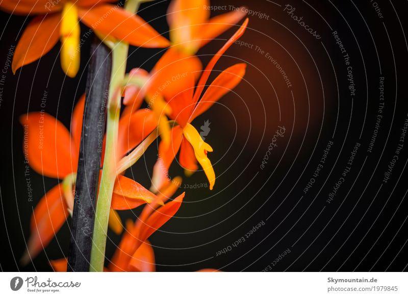 Encyclia vitellina Umwelt Natur Pflanze Orchidee gelb grün orange schwarz Stil Umweltverschmutzung Umweltschutz Farbfoto Gedeckte Farben mehrfarbig