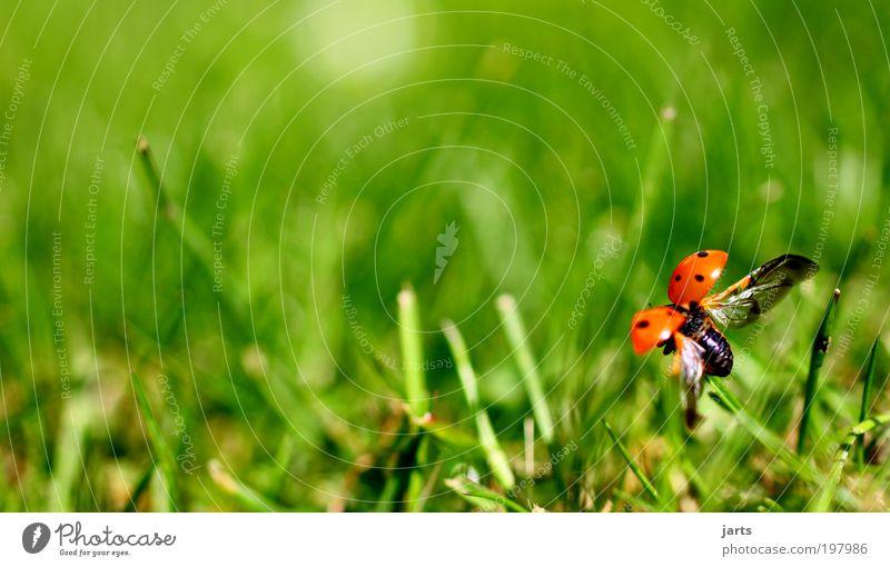 kleiner flieger Natur schön Tier Freiheit fliegen natürlich Wildtier Textfreiraum links Fernweh Marienkäfer Käfer Insekt Makroaufnahme Tierliebe