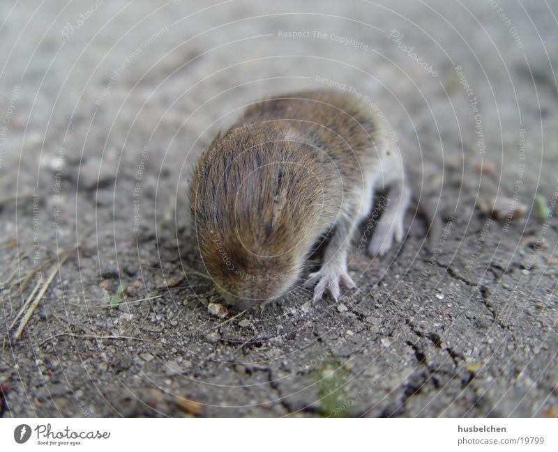rattenbaby Fell Fußweg Pfote Ratte