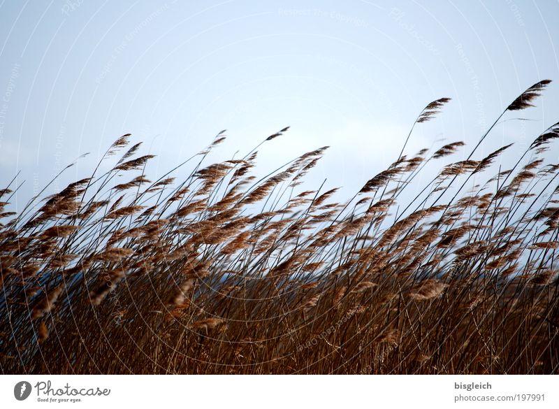 Gras Pflanze Himmel Wind Küste Seeufer blau braun Farbfoto Gedeckte Farben Außenaufnahme Textfreiraum oben Dämmerung Sonnenlicht Gegenlicht Zentralperspektive
