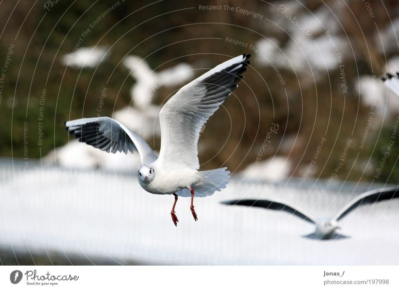 Augenkontakt Umwelt Natur Tier Luft Wetter Menschenleer Vogel Tiergesicht Flügel Möwe 2 Schwarm beobachten fliegen füttern Aggression ästhetisch authentisch