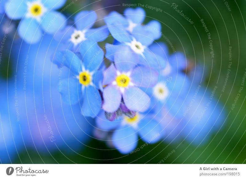 ........... nie vergessen Natur schön weiß Blume blau Pflanze gelb Wiese Blüte Frühling Garten Park frisch Fröhlichkeit Romantik authentisch