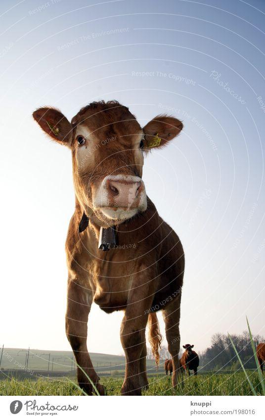 Und die Kuh macht... Himmel Natur blau Ferien & Urlaub & Reisen Sommer Landschaft Tier Umwelt Wiese Tierjunges Gras Freiheit Luft Feld Zufriedenheit