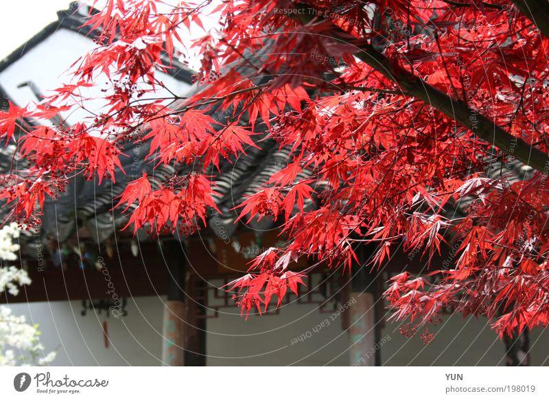 Rotahorn Ferne Garten Natur Pflanze Herbst Baum Blatt Dach hell rot schwarz weiß Farbe Ast China Farbfoto mehrfarbig Außenaufnahme Nahaufnahme Menschenleer Tag