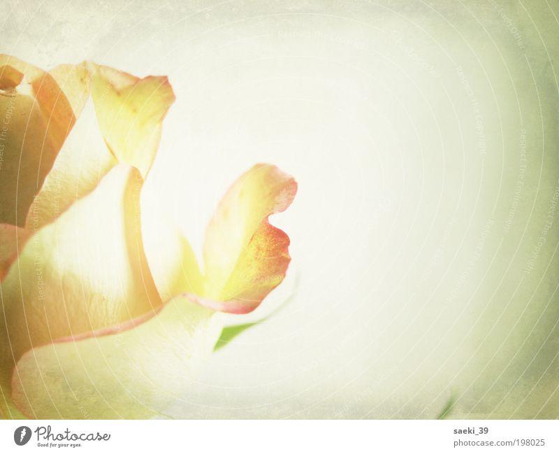 I had a wonderful dream Pflanze Rose Blüte Gefühle Stimmung Glück Vertrauen Geborgenheit Sympathie träumen Farbfoto Gedeckte Farben Innenaufnahme Nahaufnahme