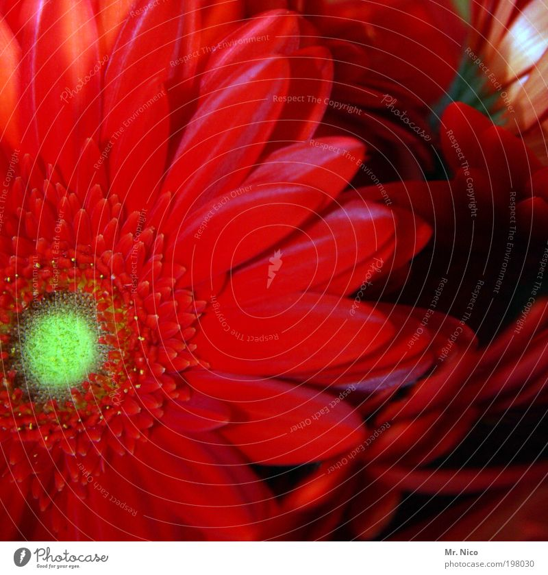 jerry´s Umwelt Natur Pflanze Frühling Sommer Blume Garten Duft frisch rot Frühlingsgefühle Gerbera Blüte Blühend Blütenblatt Pollen Valentinstag Muttertag