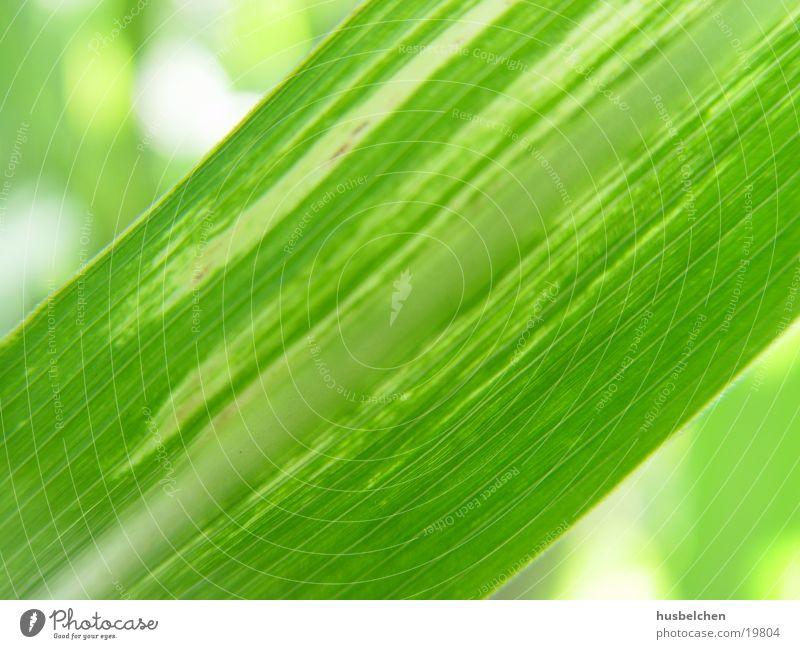 sonnengrün Gras Schilfrohr Ziergras