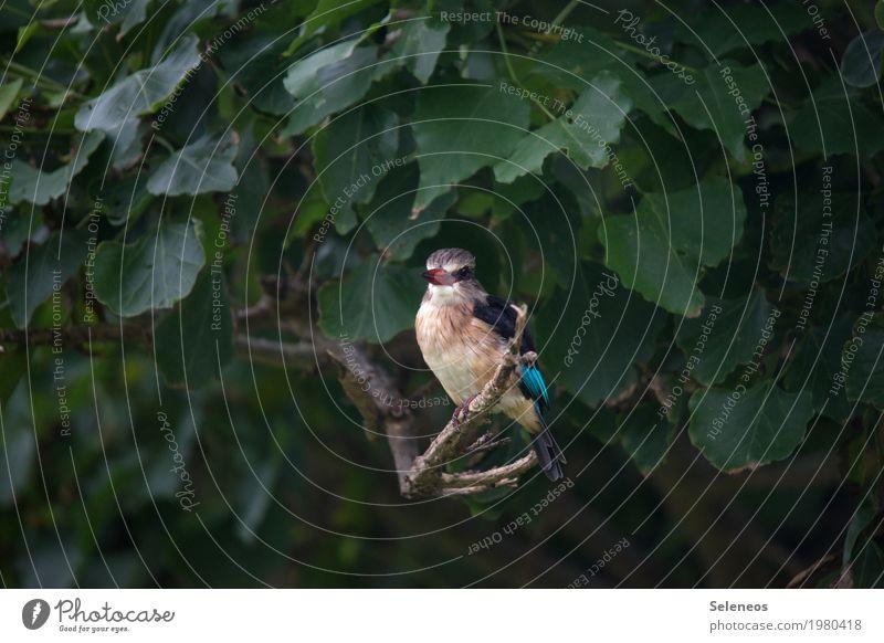 Braunkopflist Umwelt Natur Sommer Pflanze Baum Blatt Ast Garten Park Tier Wildtier Vogel Tiergesicht Eisvögel 1 beobachten frei klein nah natürlich Farbfoto