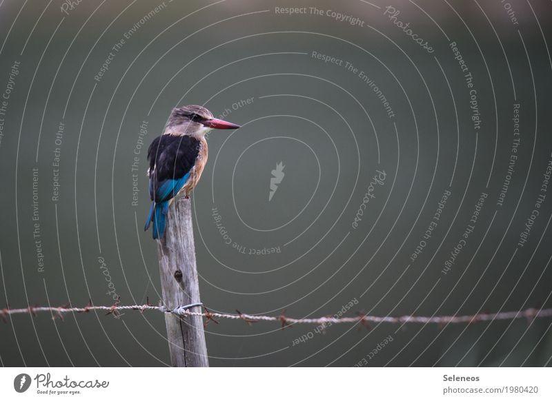 Keith ruhig Ausflug Freiheit Küste Seeufer Flussufer Tier Wildtier Vogel Tiergesicht Flügel Eisvögel Schnabel 1 beobachten Jagd außergewöhnlich bedrohlich