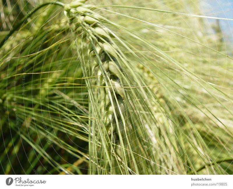 geneigte gerste Feld Getreide Bier Landwirtschaft Korn Ackerbau Gerste