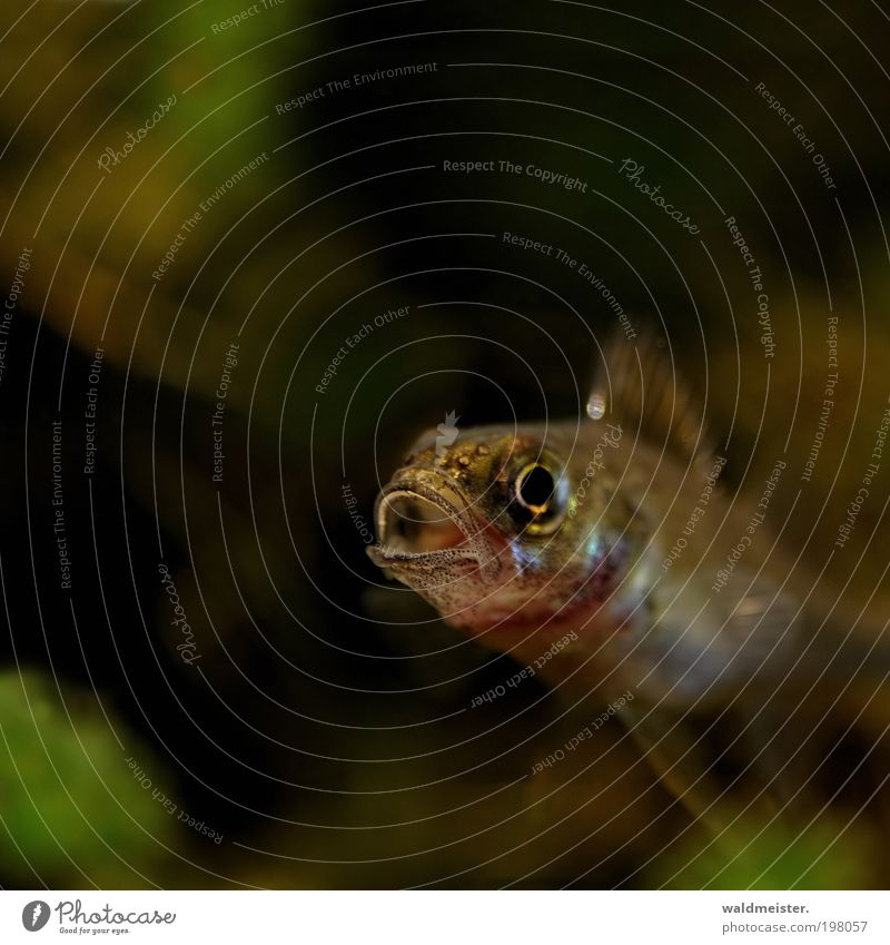 Großmaul Natur ruhig Tier Leben sprechen Fisch Coolness Wildtier atmen Barsch Unterwasseraufnahme Makroaufnahme Raubfisch Flussbarsch
