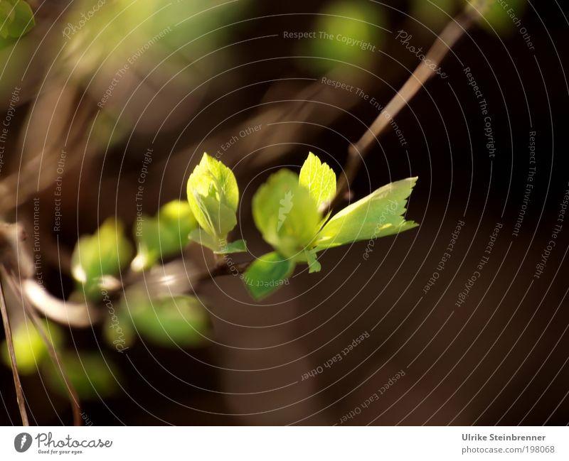 Frühlingslicht Natur Sonne grün Pflanze Blatt Frühling Beleuchtung Wachstum Sträucher Ast Spitze zart geheimnisvoll leuchten Zweig fein